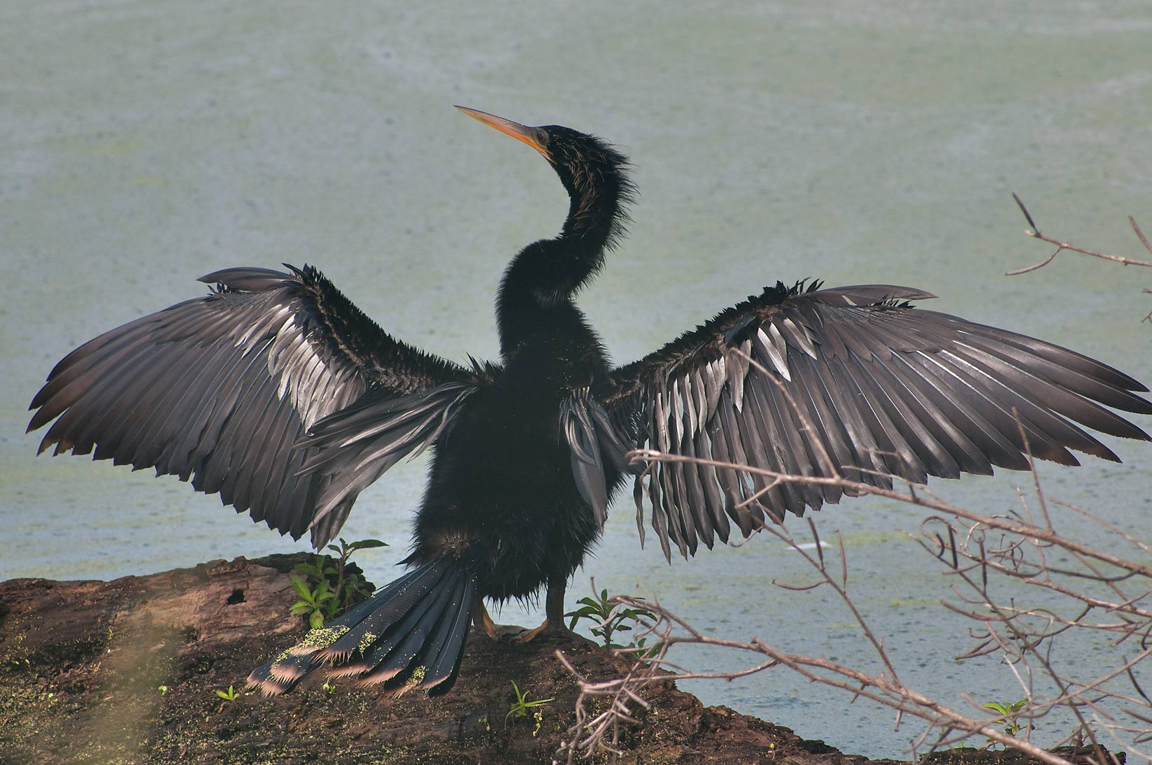 Cormorant drying its wings in Brazos Bend State Park. Needville, Texas