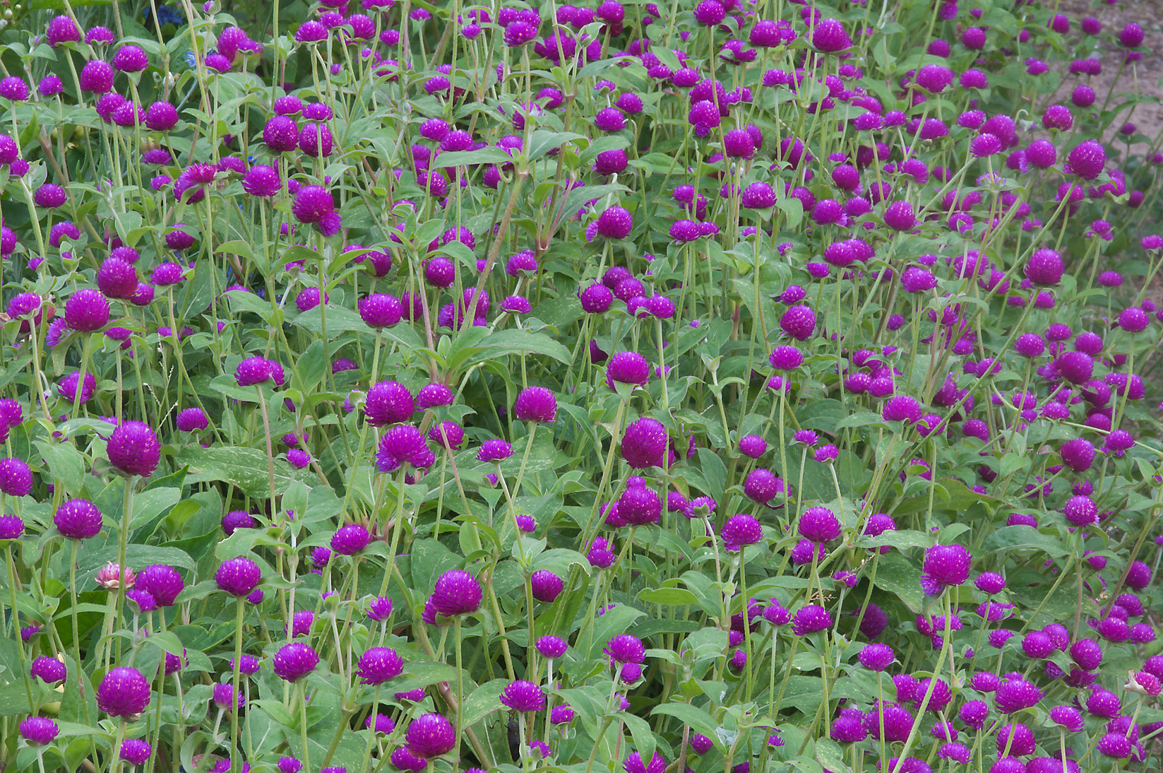 Globe amaranth in TAMU Holistic Garden in Texas A&M University. College Station, Texas