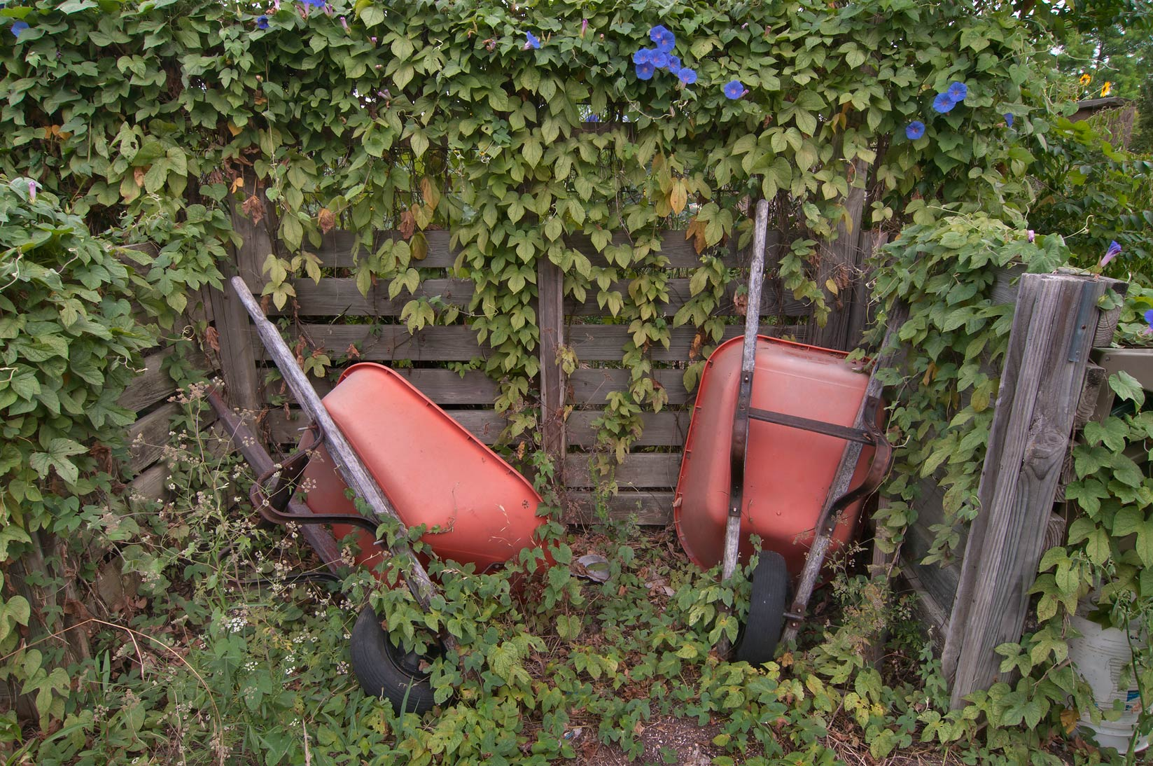 Abandoned wheelbarrows in TAMU Holistic Garden in...M University. College Station, Texas