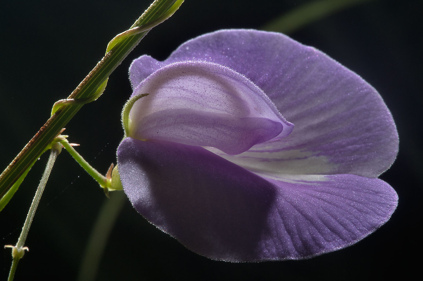 Back lit Butterfly pea (Centrosema virginianum) in Lick Creek Park. College Station, Texas