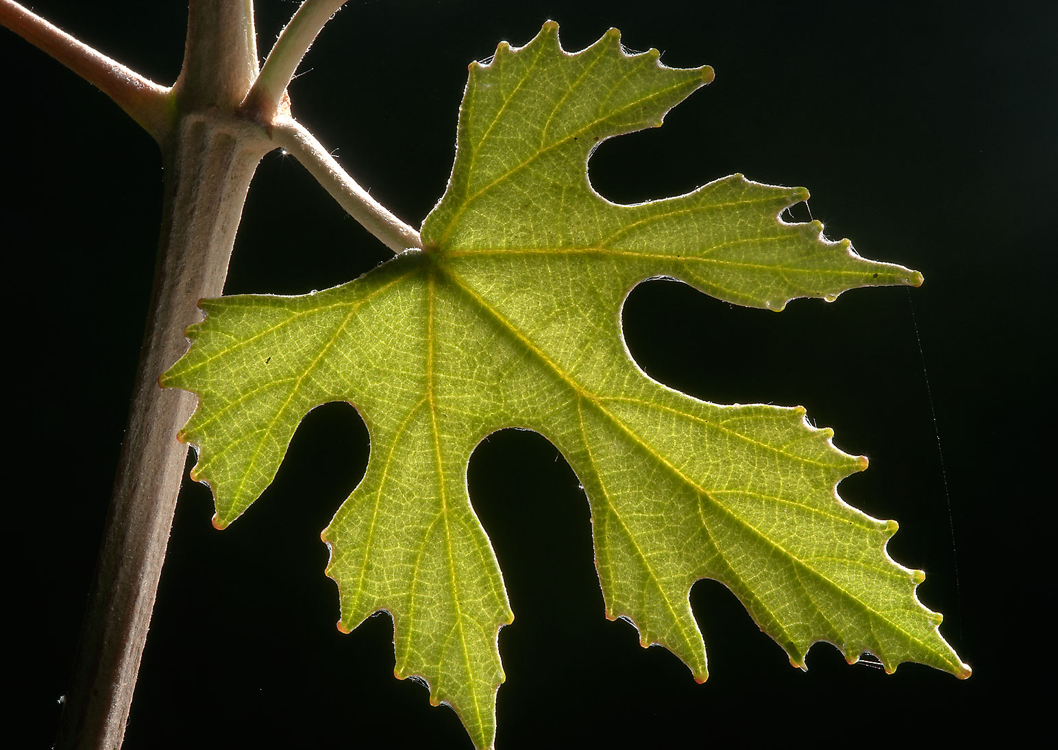 Leaf of mustang grape (Vitis mustangensis) in Lick Creek Park. College Station, Texas