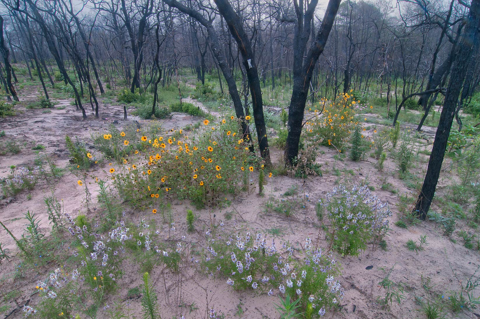Flowers on Roosevelt's Cutoff Trail in Bastrop State Park. Bastrop, Texas