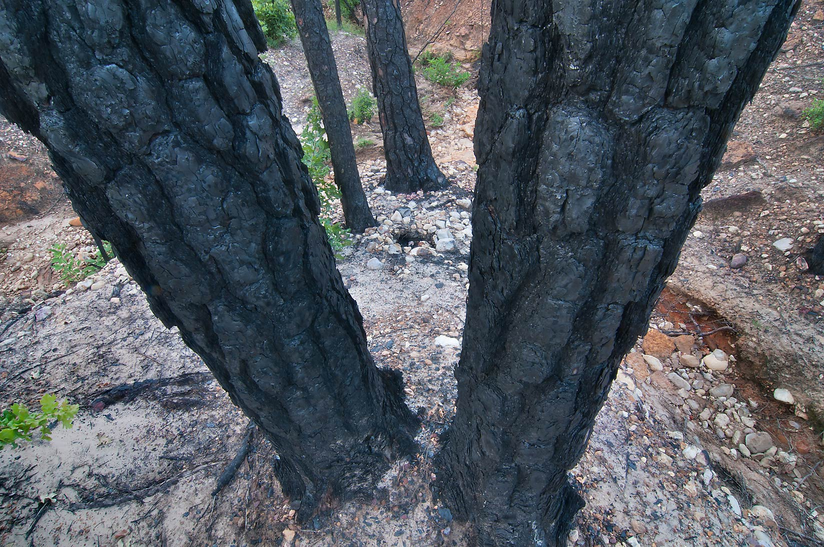 Blackened tree trunks near Lost Pines Trail in Bastrop State Park. Bastrop, Texas