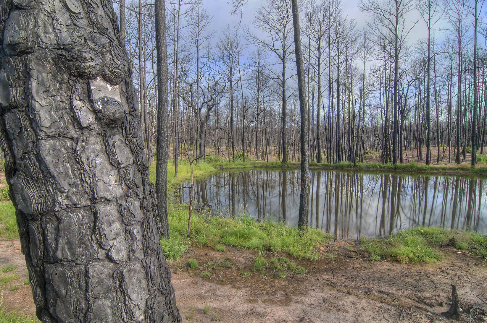 Toad Pond from Lost Pines Trail in Bastrop State Park. Bastrop, Texas