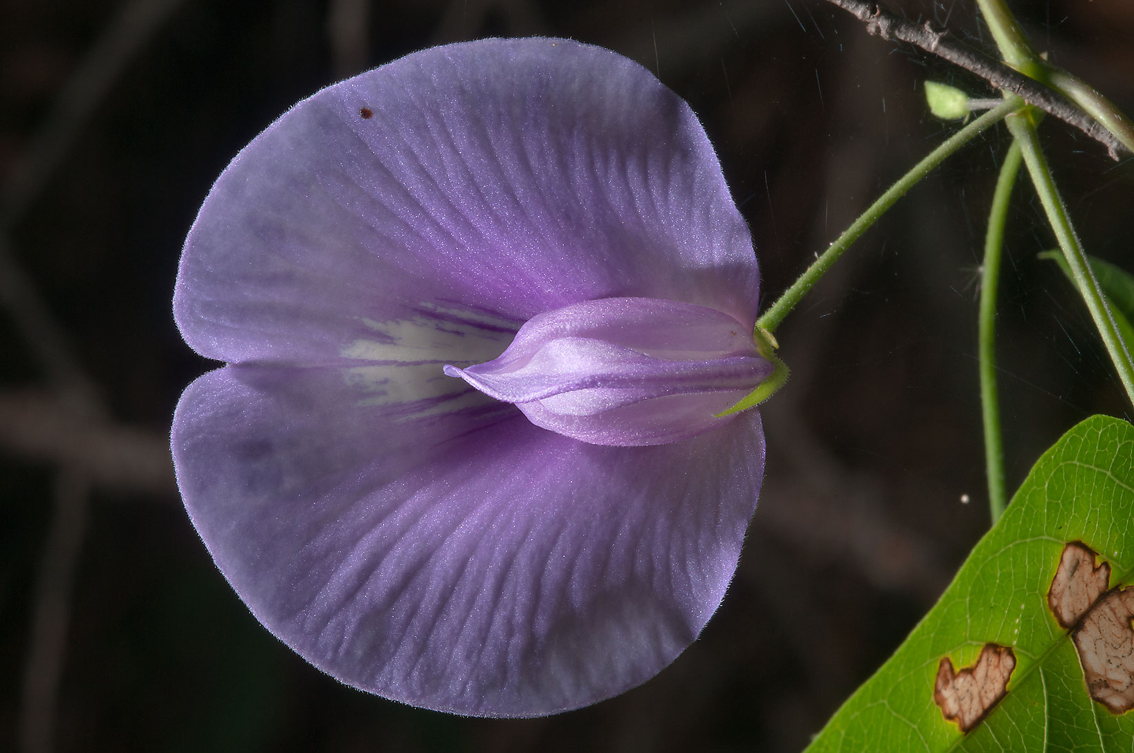 Butterfly pea (Centrosema virginianum) west from...in Bastrop State Park. Bastrop, Texas