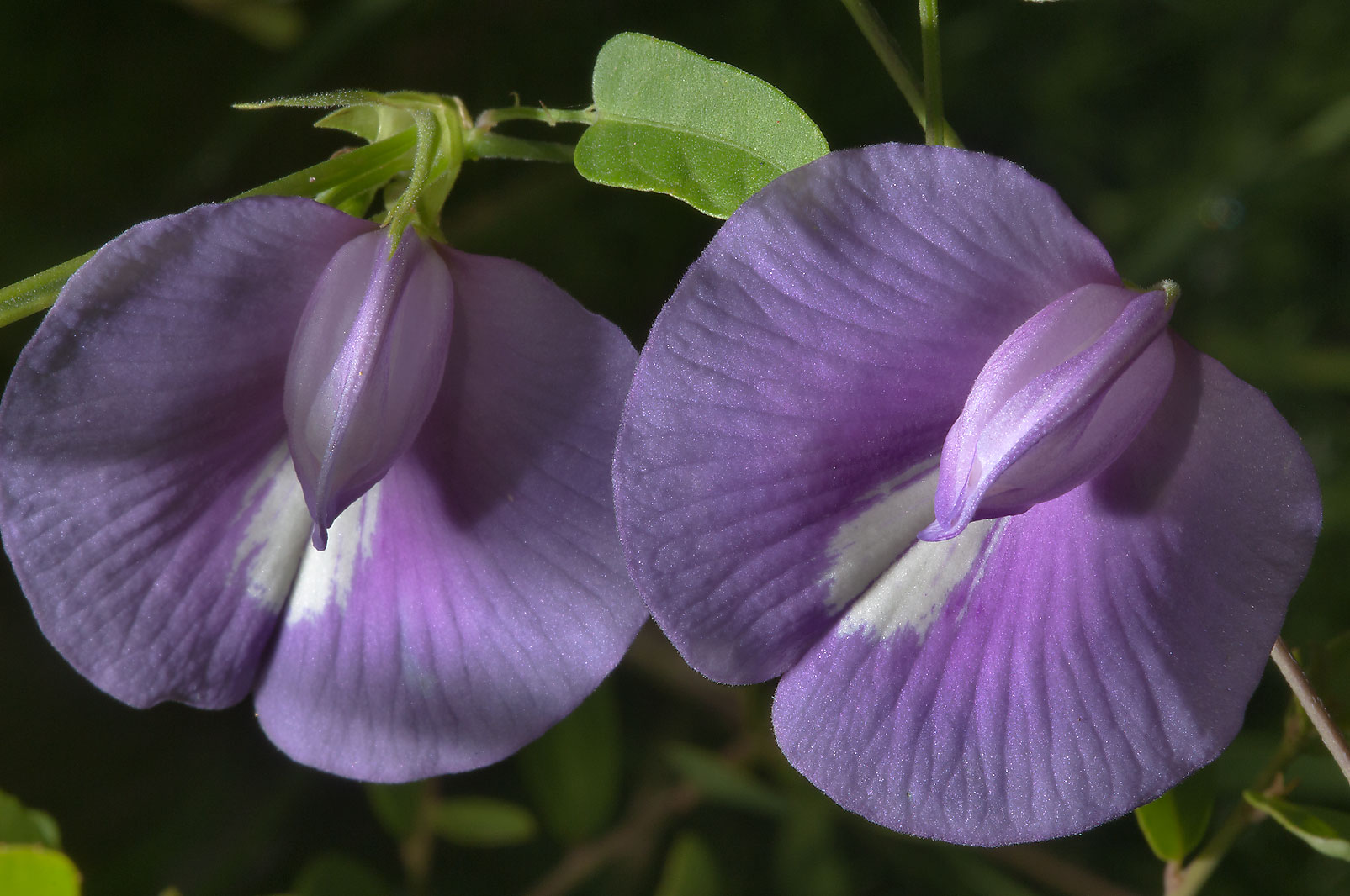 Flowers of Butterfly pea (Centrosema virginianum...in Bastrop State Park. Bastrop, Texas
