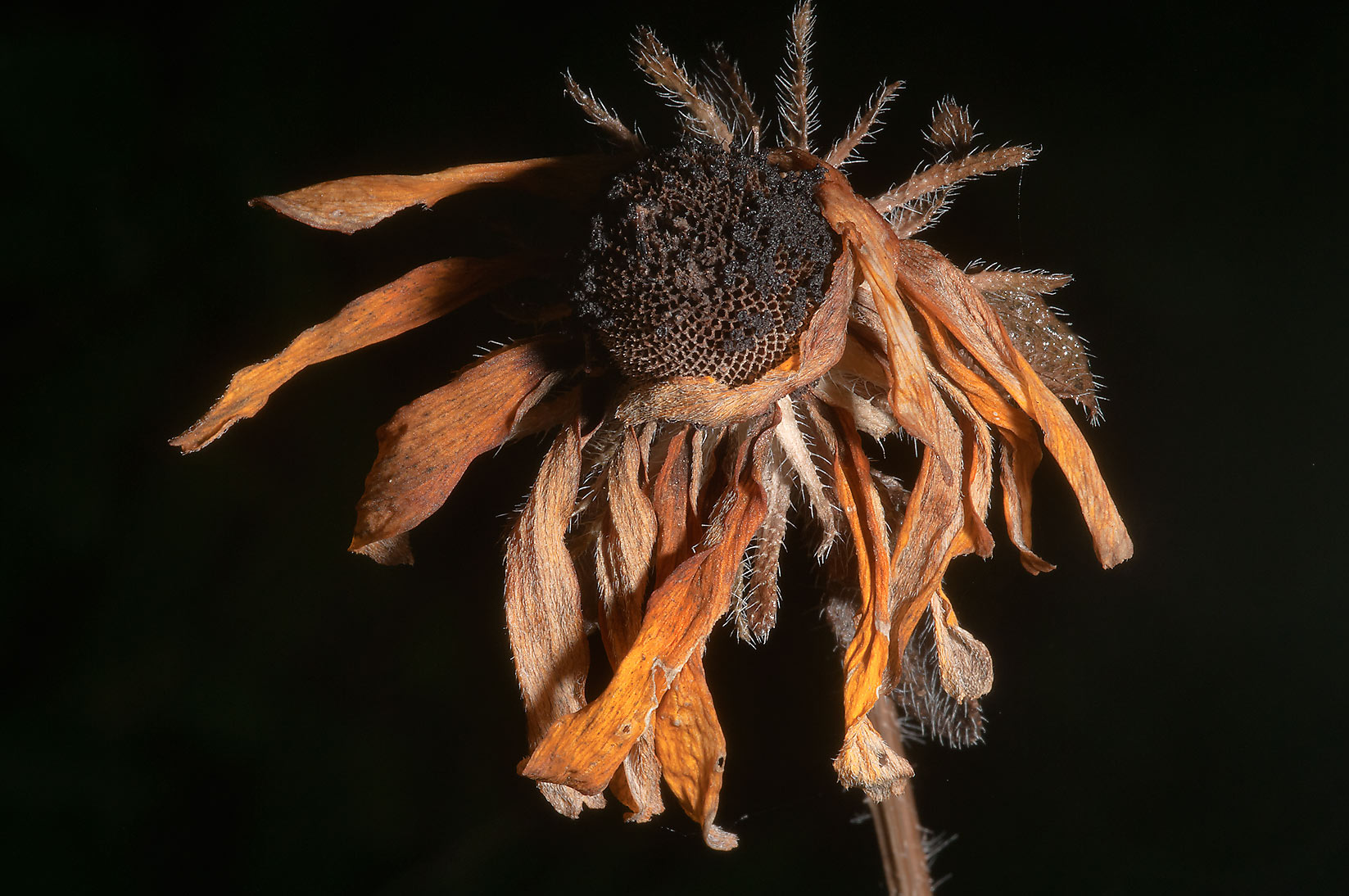 Drying head of black eyed susan flower in Lick Creek Park. College Station, Texas