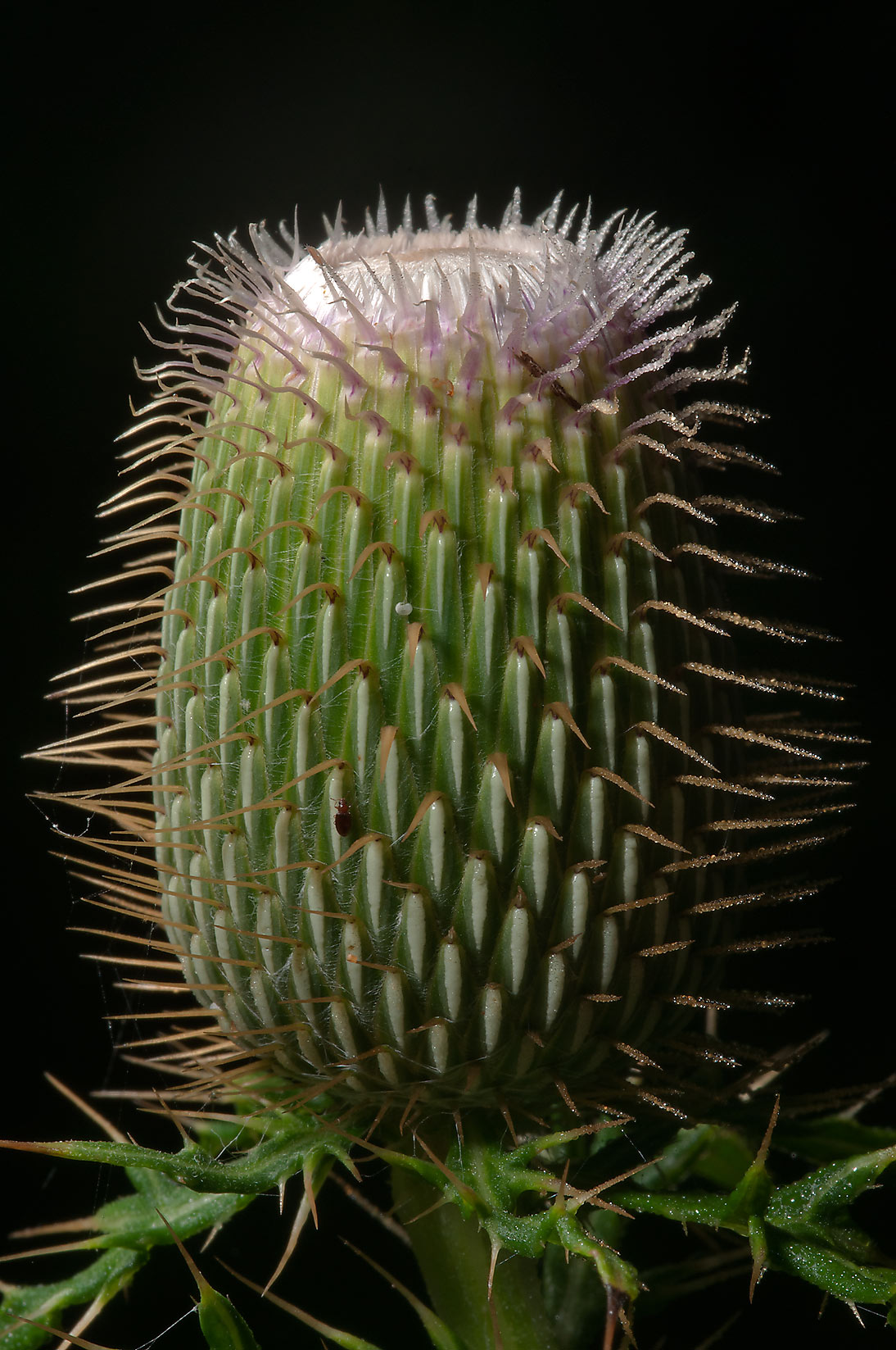 Spiny flower bud of a thistle (Cirsium...Creek Park. College Station, Texas