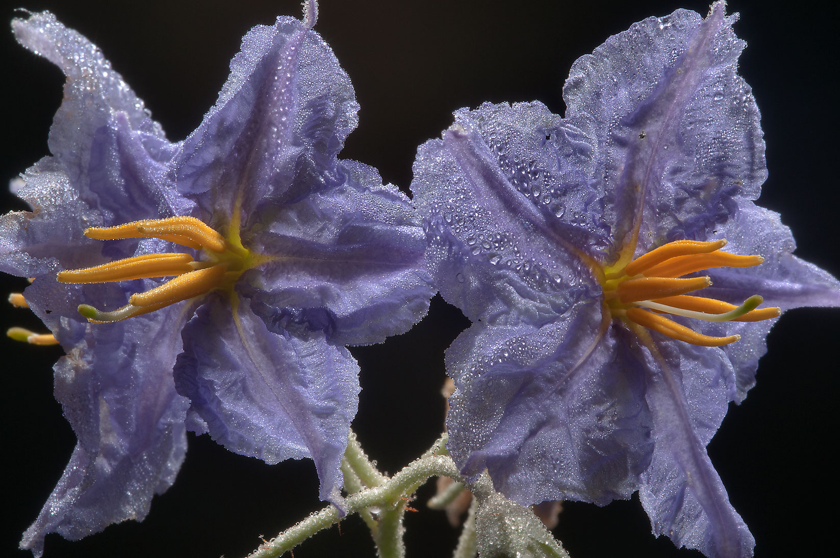 Solanum (nightshade) flowers in dew in Washington...State Historic Site. Washington, Texas