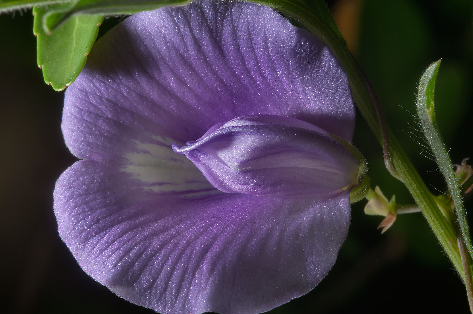 Butterfly pea (Centrosema virginianum) in Lick Creek Park. College Station, Texas