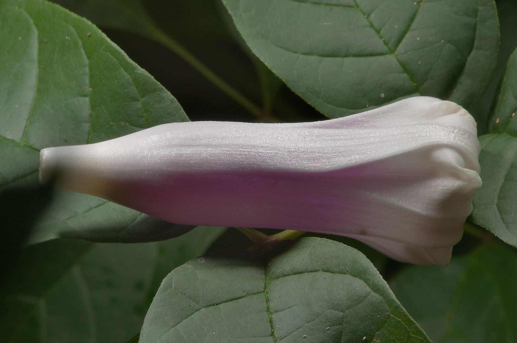 Petals of morning glory (Ipomoea) in Lick Creek Park. College Station, Texas