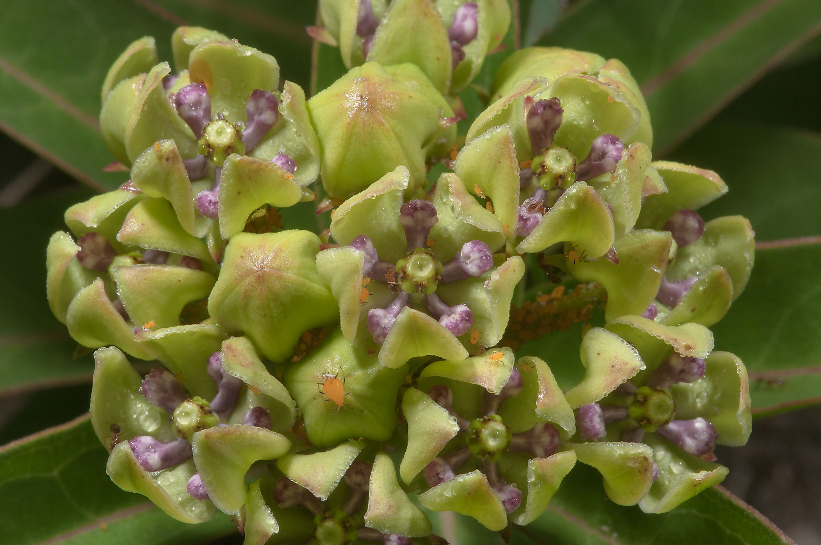 Green milkweed (Antelope horns, asclepias viridis...State Historic Site. Washington, Texas