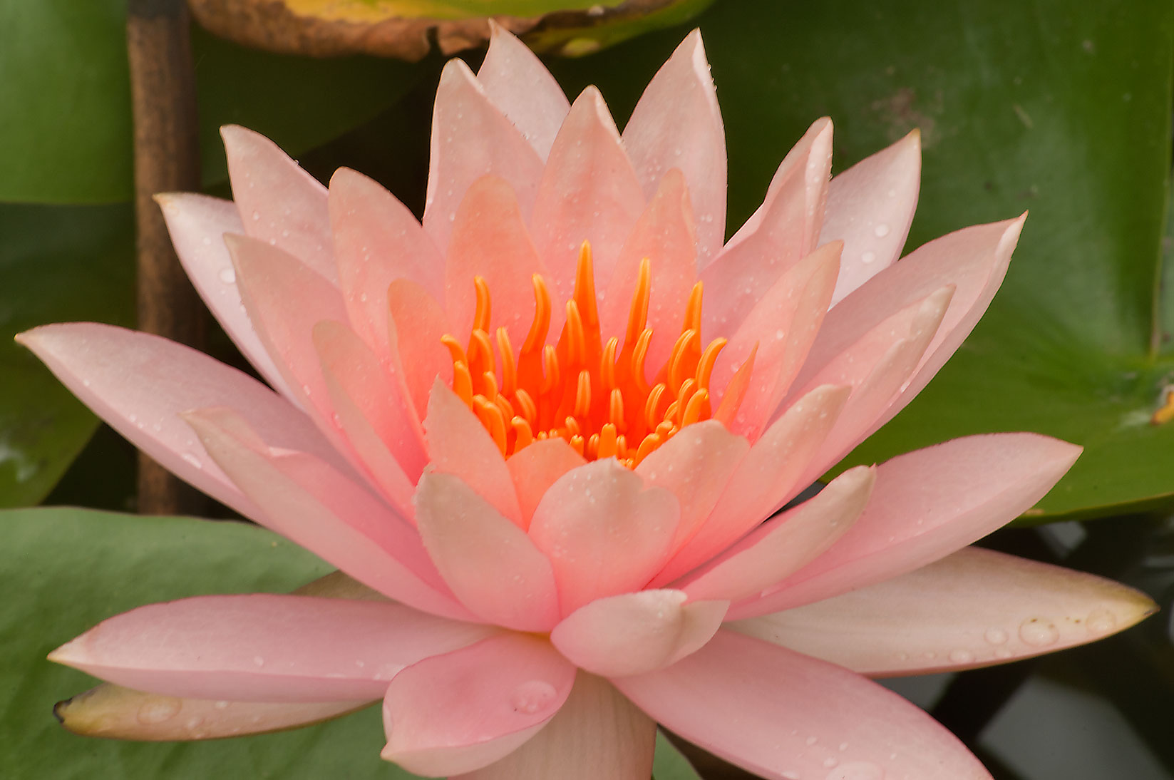 Water lily in TAMU Horticultural Gardens in Texas...M University. College Station, Texas