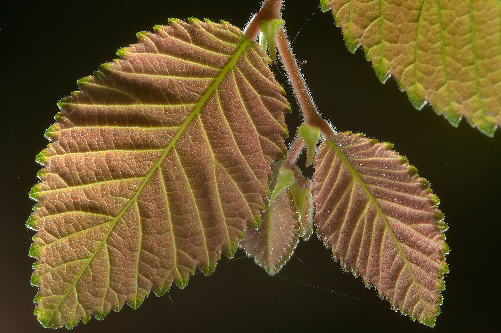 Back lit leaves of elm in Wolf Pen Creek Park. College Station, Texas