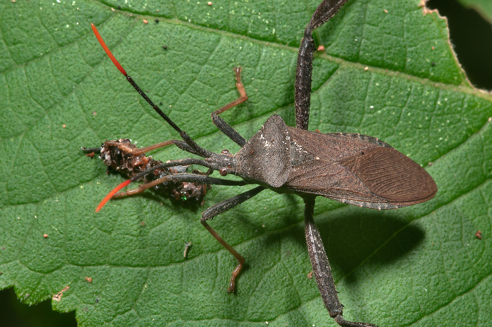 Leaf footed bugs - search in pictures