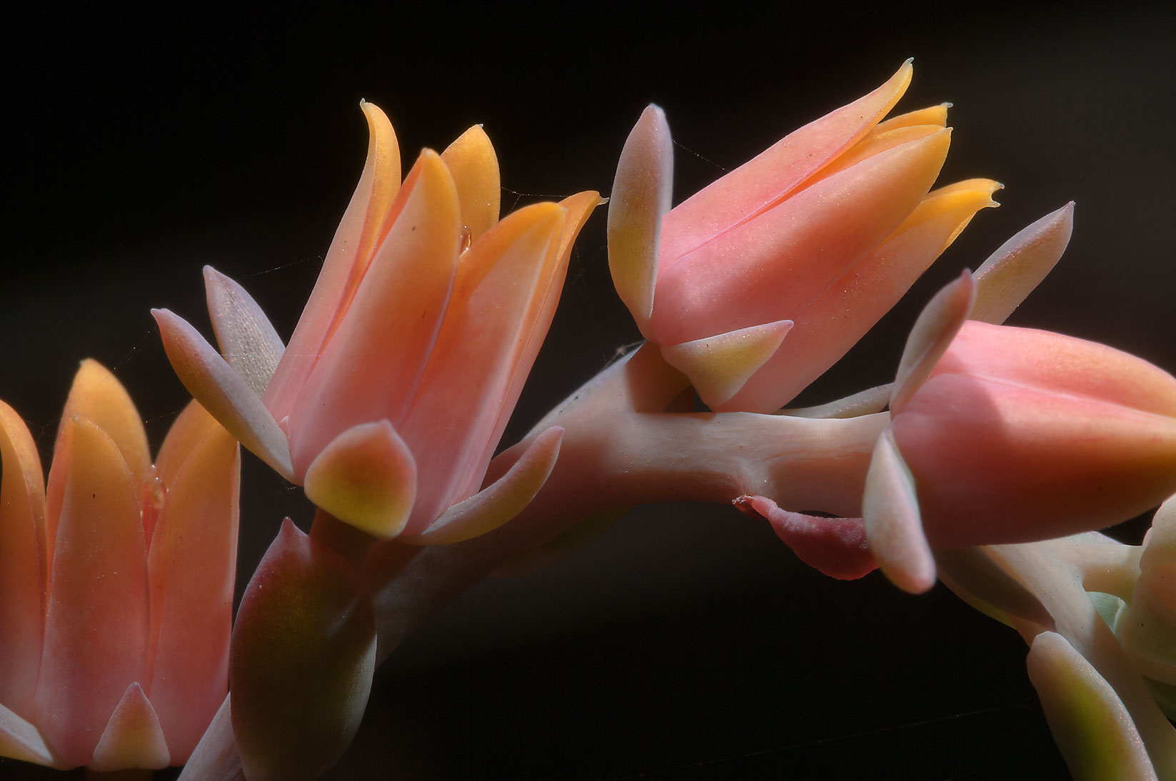 Flowers of echeveria in TAMU Holistic Garden in...M University. College Station, Texas