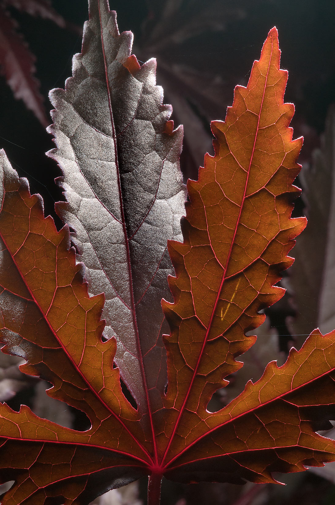 Palmately lobed red leaf in TAMU Holistic Garden...M University. College Station, Texas