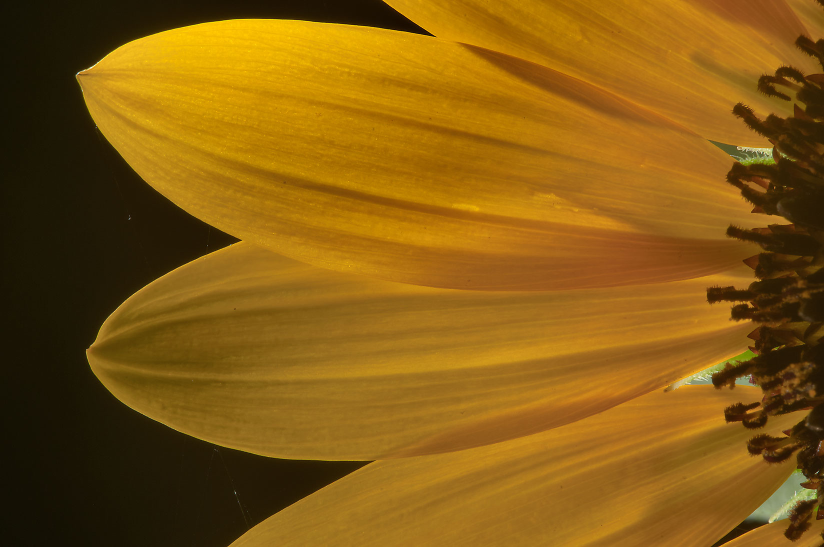 Petals of sunflower (Helianthus) in TAMU...M University. College Station, Texas