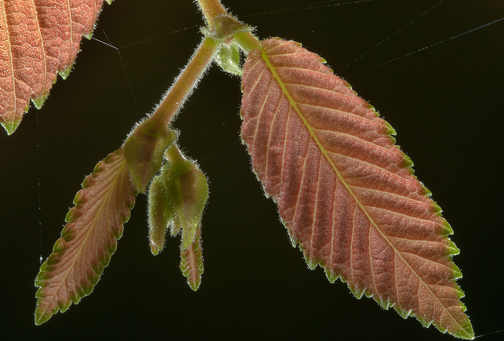 Leaves of elm in Lick Creek Park. College Station, Texas