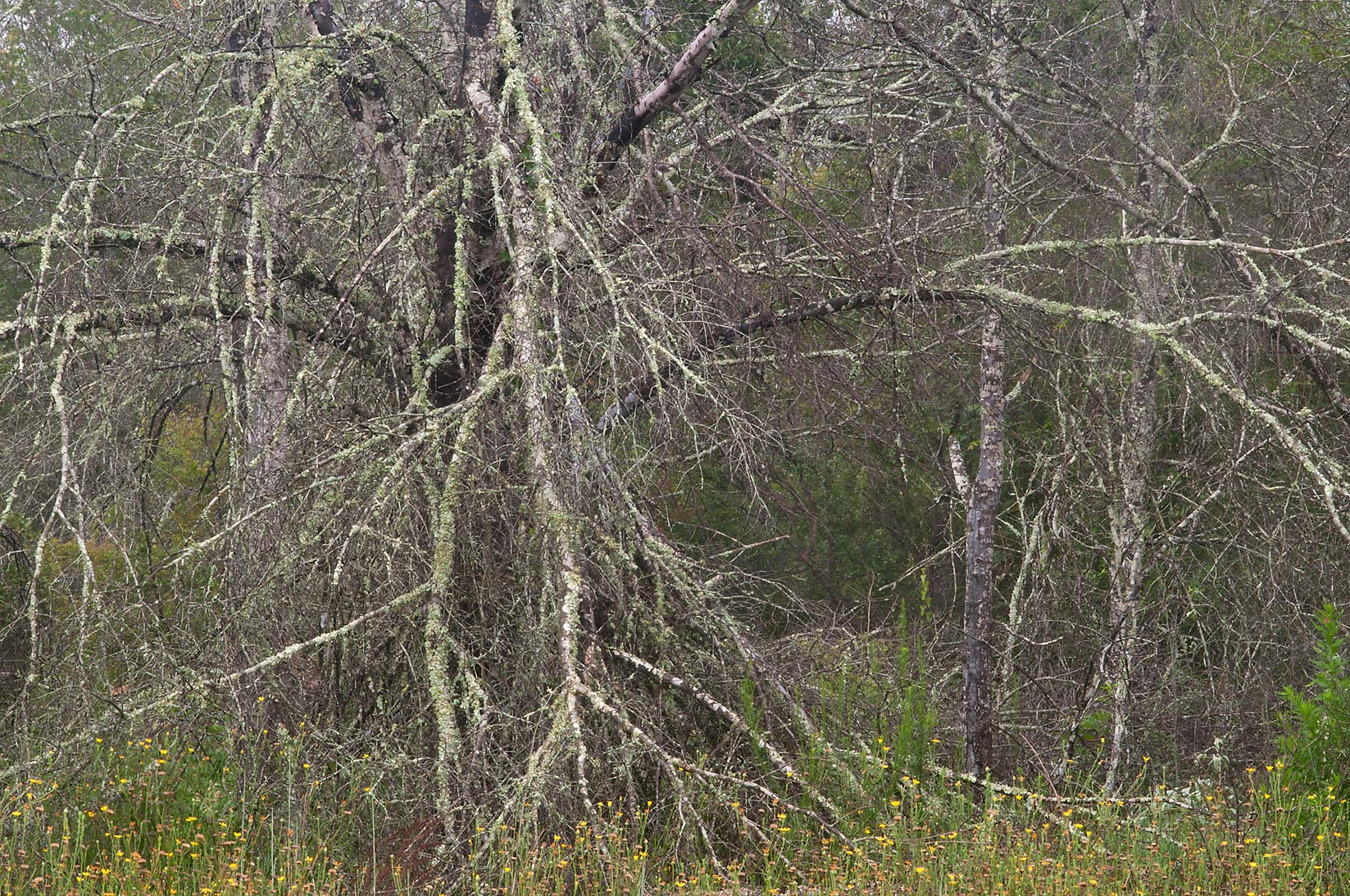 Dead oaks from last year drought in Lick Creek Park. College Station, Texas