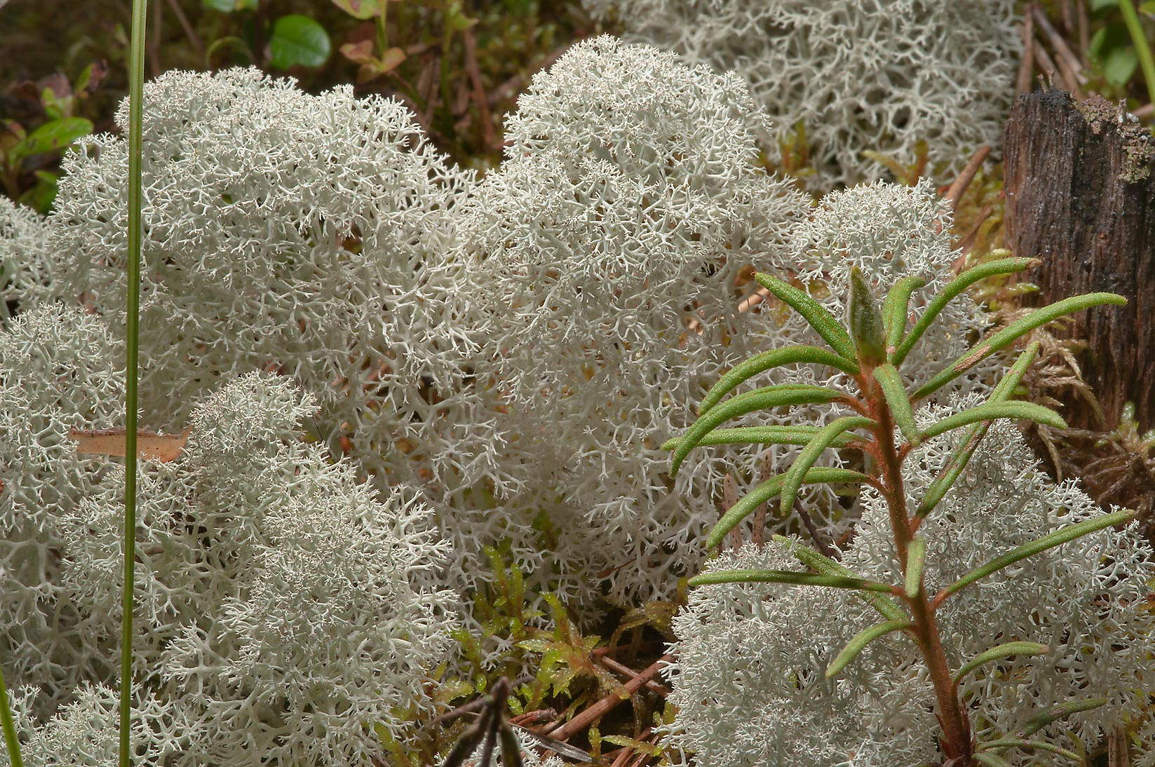 Star-tipped reindeer lichen (Cladonia stellaris...miles north from St.Petersburg. Russia