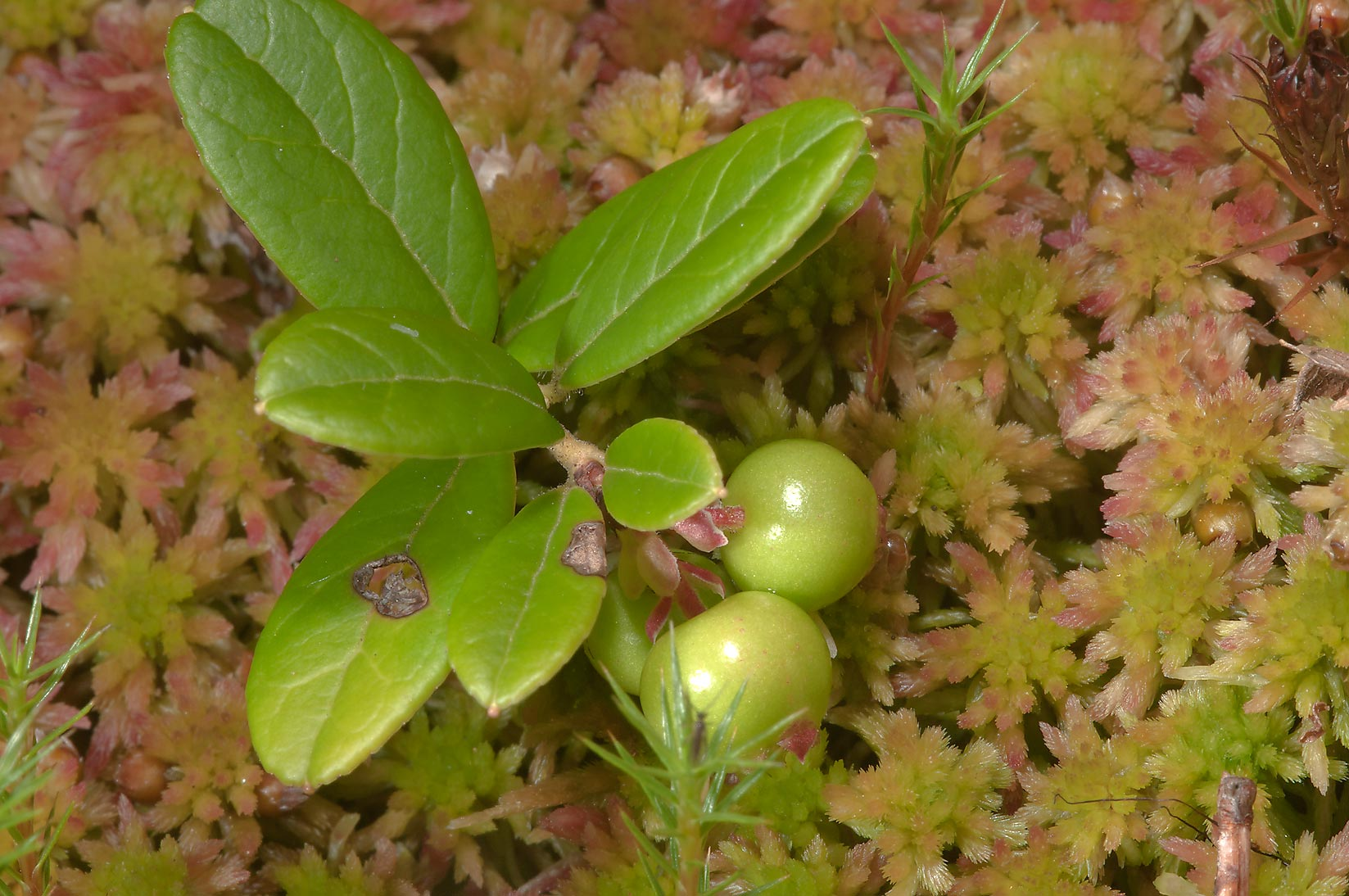 Cowberry (Brusnika) on sphagnum moss north from...miles north from St.Petersburg. Russia