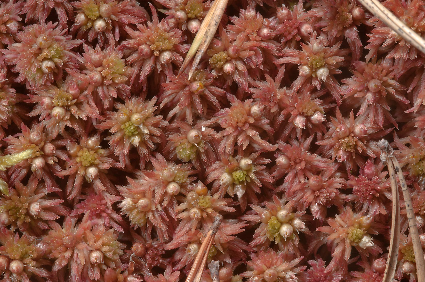 Sphagnum moss with emerging spore capsules north...miles north from St.Petersburg. Russia