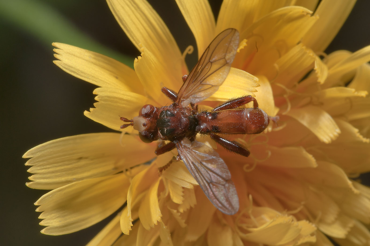 Brown fly on a yellow aster north from Vyritsa, 50 miles north from St.Petersburg. Russia