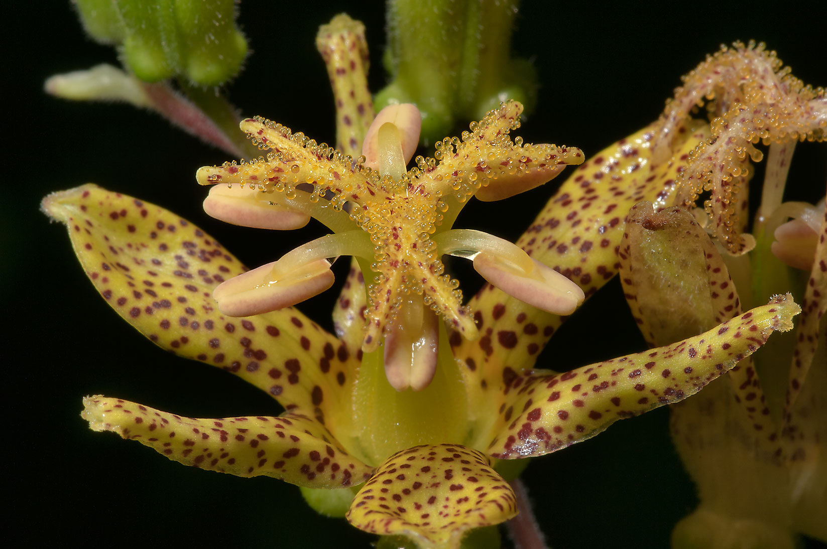 Toad lily (Tricyrtis latifolia) in Botanic...Institute. St.Petersburg, Russia