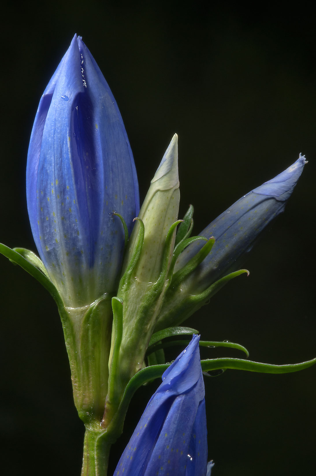 Gentian flower buds in Botanic Gardens of Komarov...Institute. St.Petersburg, Russia