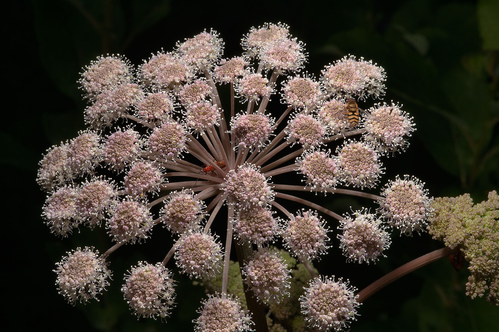 Umbels of flowers of Angelica sylvestris (Russian...from Deviatkino. St.Petersburg, Russia