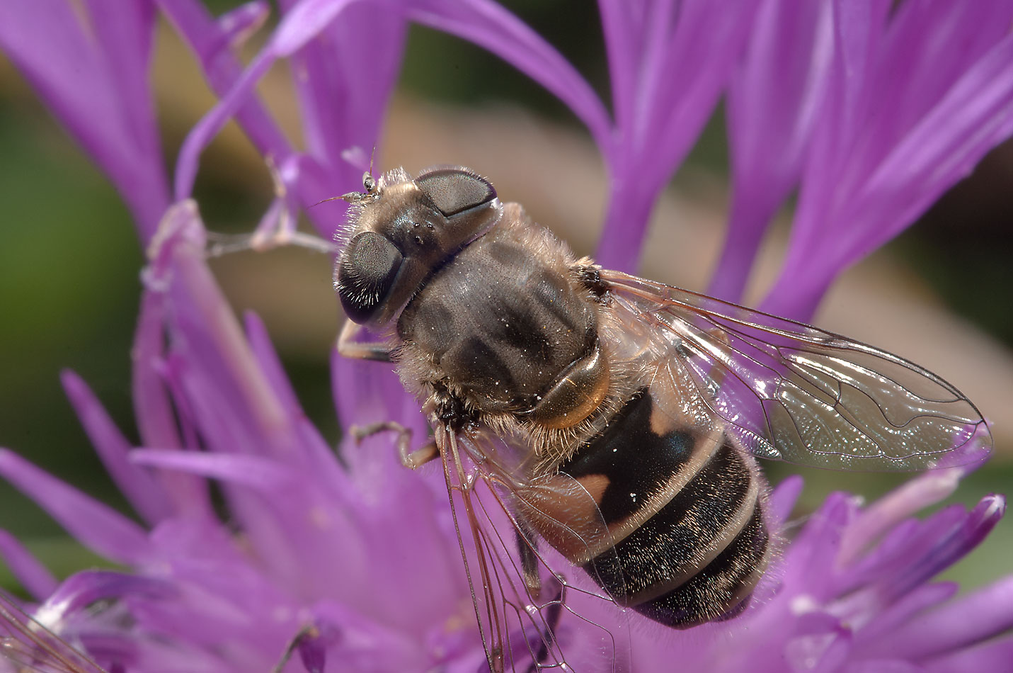 Bee like fly on a thistle in fields west from Deviatkino. St.Petersburg, Russia