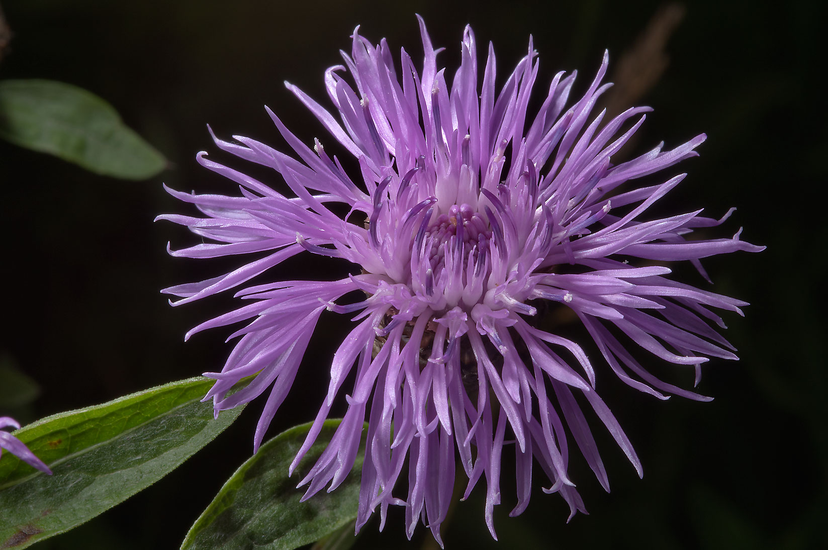 Brown Knapweed (Centaurea jacea, Russian name...from Deviatkino. St.Petersburg, Russia