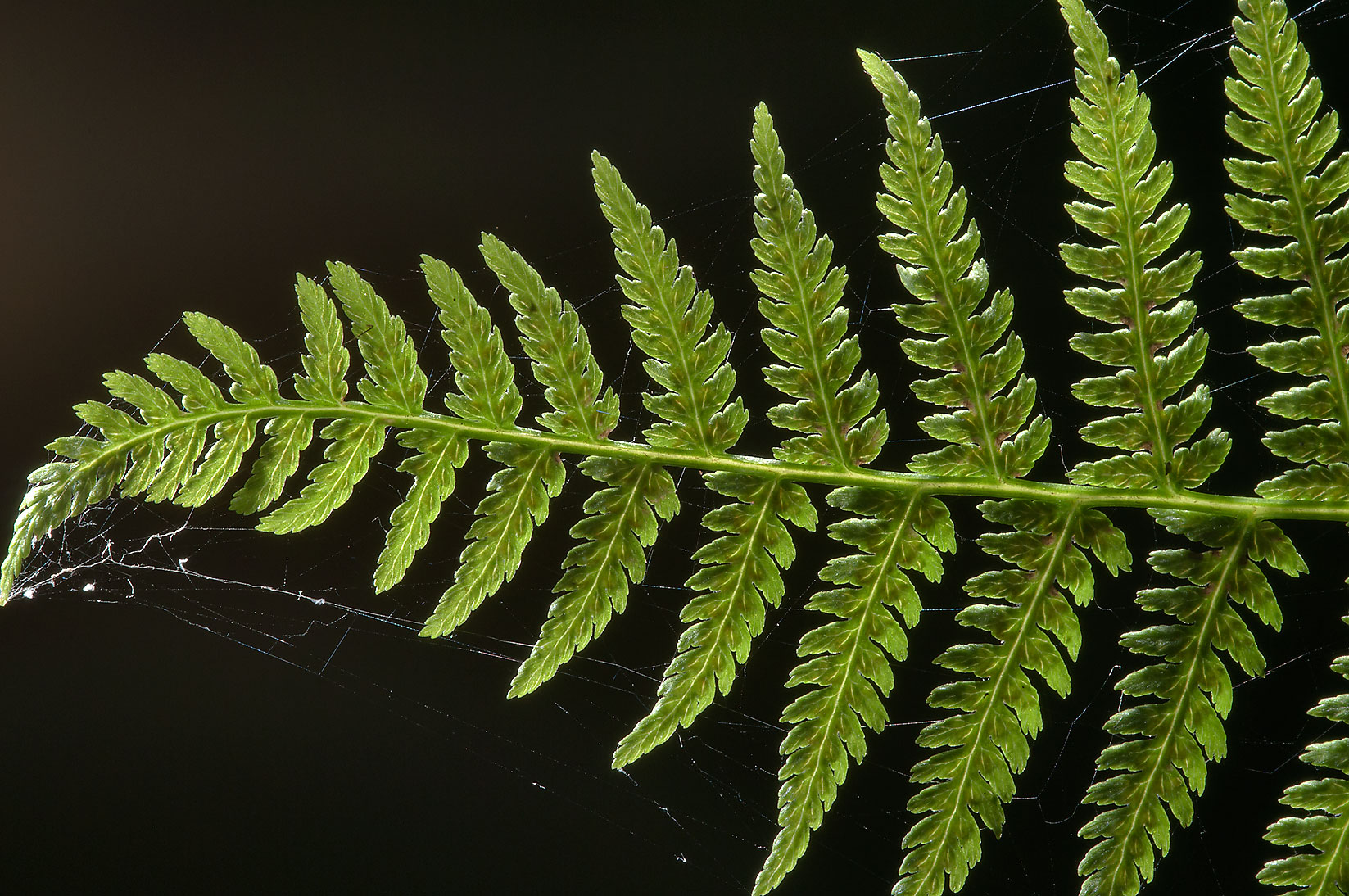 Fern leaf in a forest in Pavlovsk Park. South from St.Petersburg, Russia