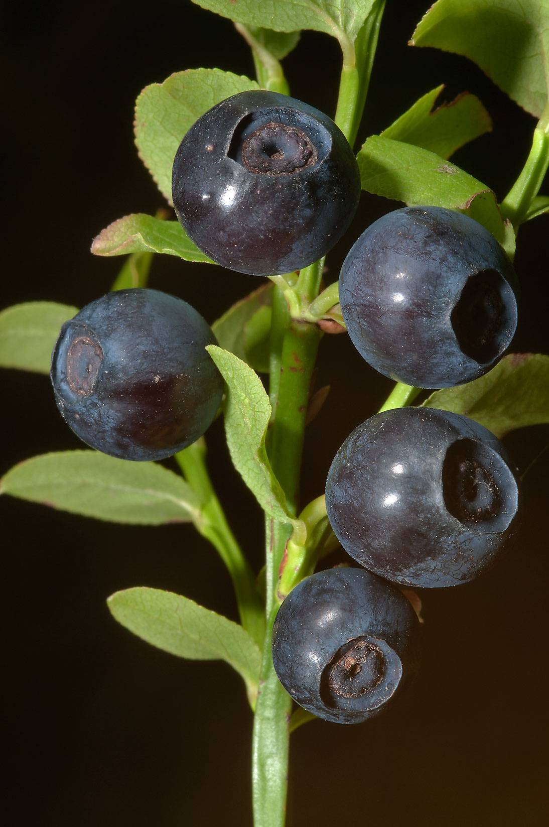 Fruits of common blueberry (Vaccinium myrtillus...miles north from St.Petersburg. Russia