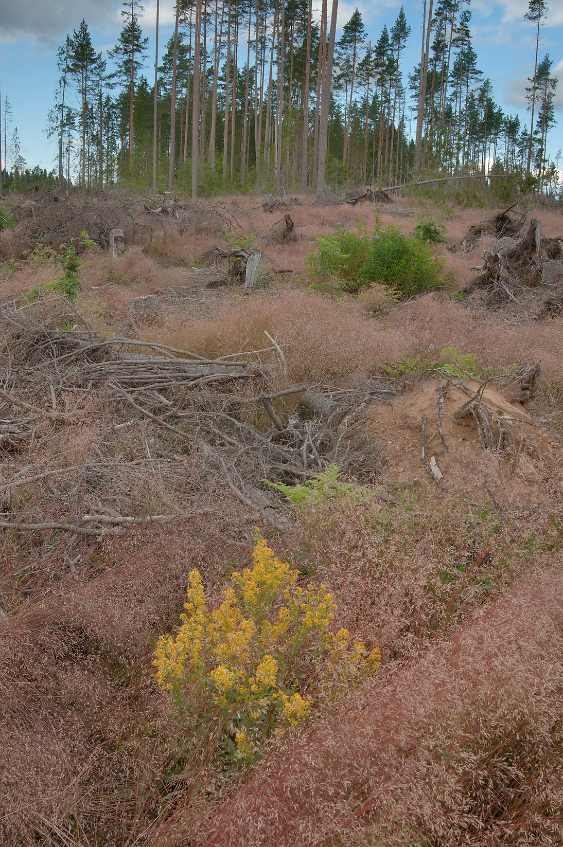 Forest damaged by a hurricane two years before...miles north from St.Petersburg. Russia