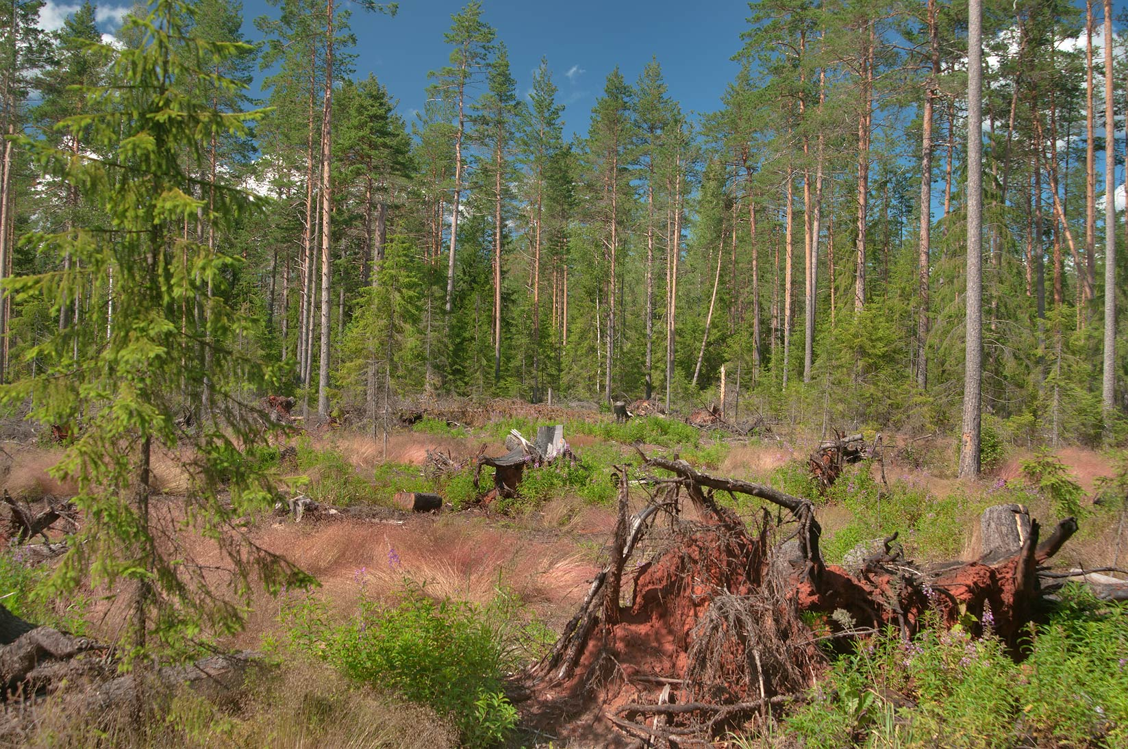 Forest damaged by a hurricane near Vetrenoe Lake...miles north from St.Petersburg. Russia