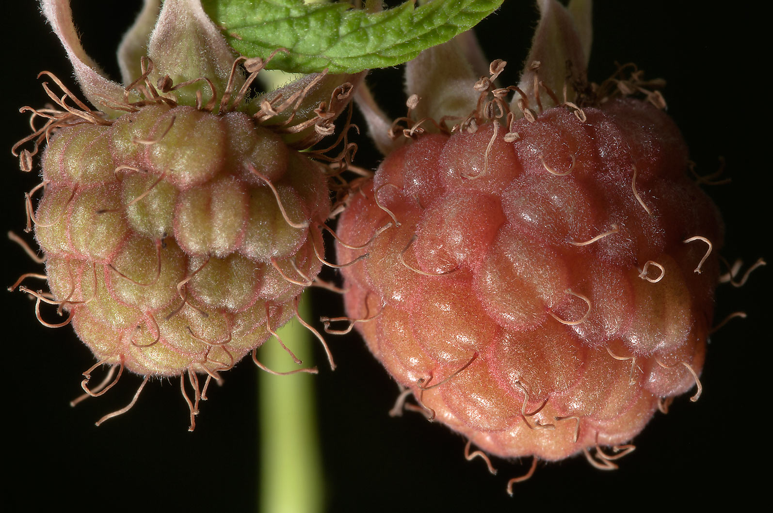 Ripening fruits of wild raspberry (Rubus, Russian...miles north from St.Petersburg. Russia