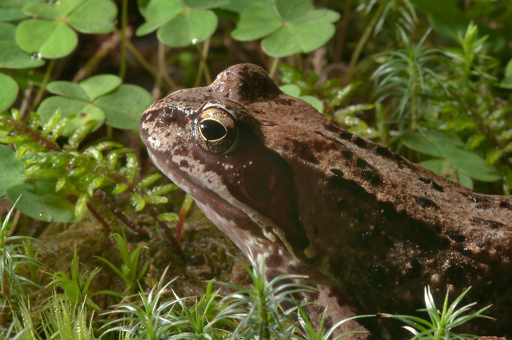 Frog in a forest west from Toksovo, 10 miles north from St.Petersburg. Russia