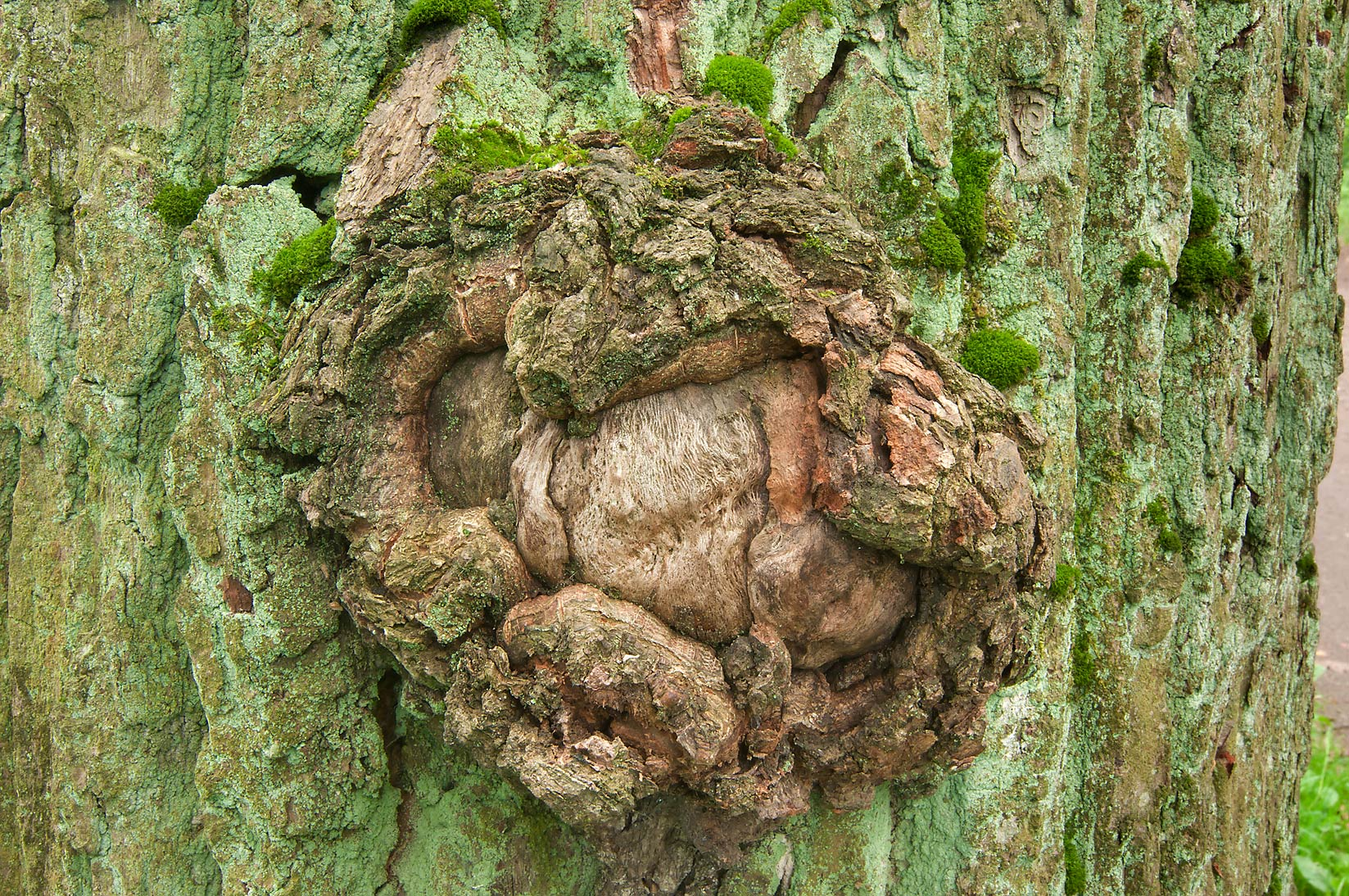 Rounded outgrowth (burl) on a tree trunk in...a suburb of St.Petersburg, Russia