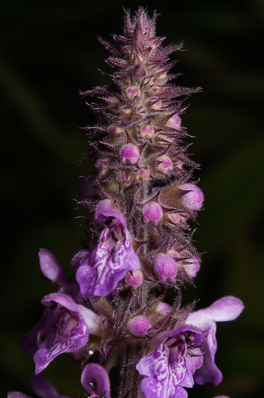 Flower of Marsh Hedgenettle (Stachys palustris...mile north from St.Petersburg. Russia