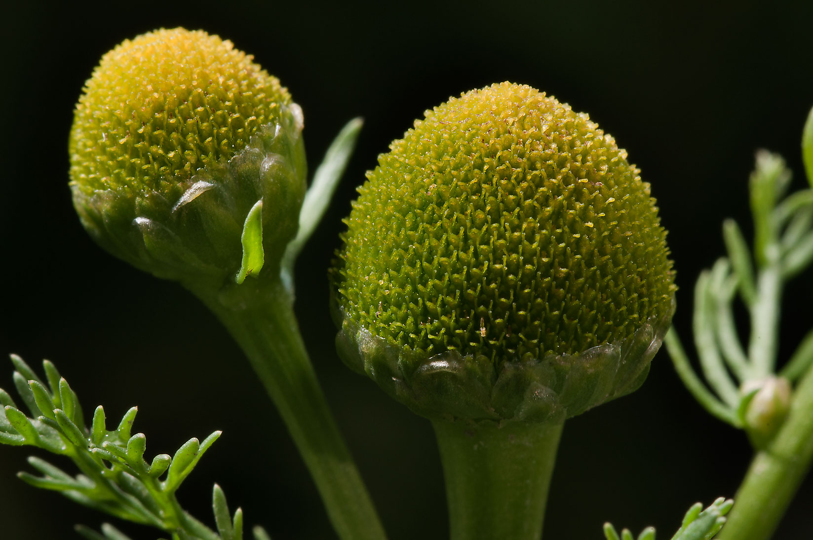 Cone-shaped flowers of pineapple weed (Matricaria...mile north from St.Petersburg. Russia