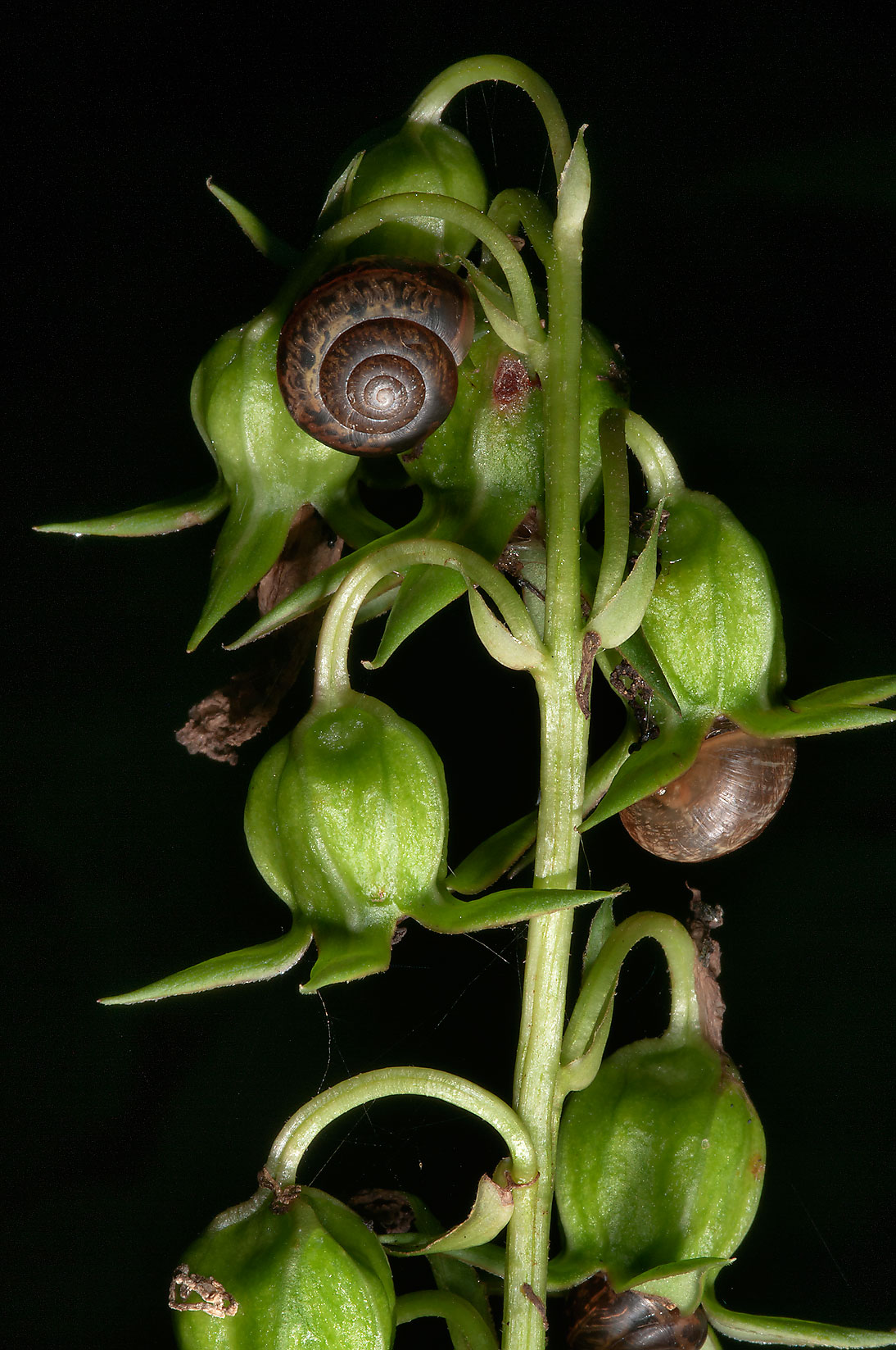Snails on some seed pods near Sablinka River in...miles south from St.Petersburg. Russia