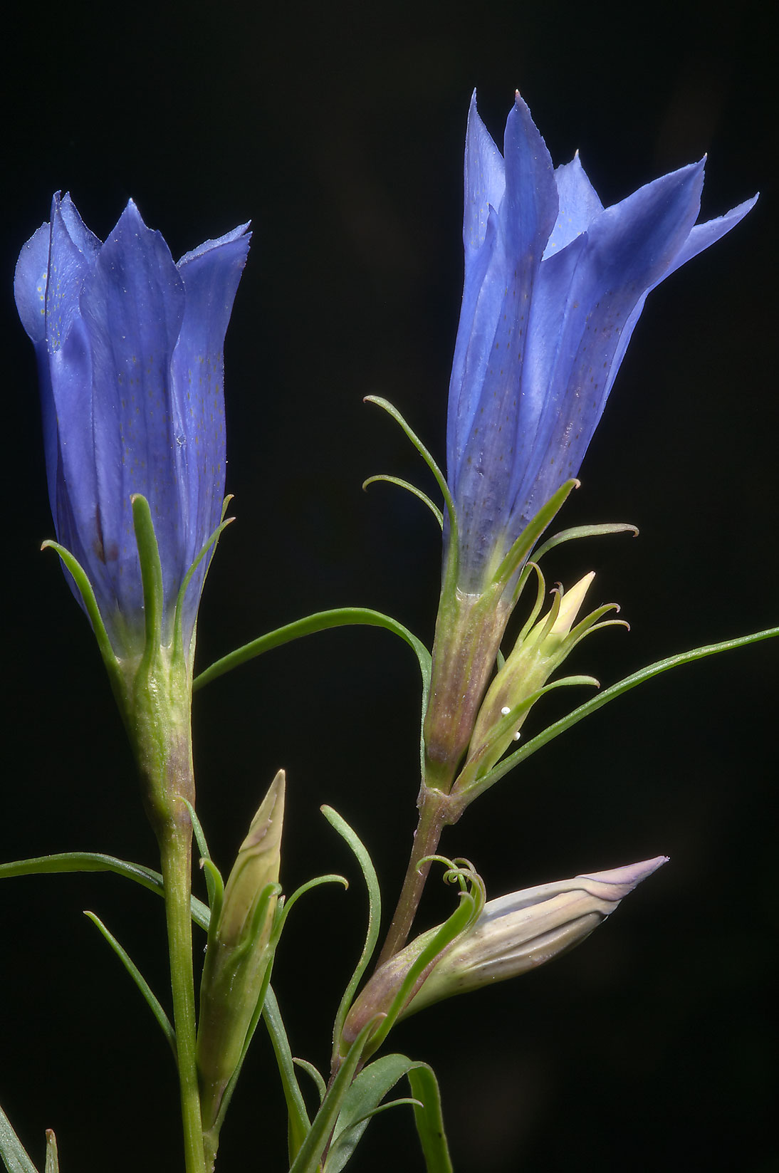 Flowers of Marsh Gentian (Gentiana pneumonanthe...miles south from St.Petersburg. Russia