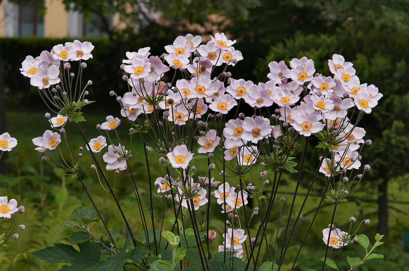 Japanese windflower (Anemone hupehensis) in...Institute. St.Petersburg, Russia