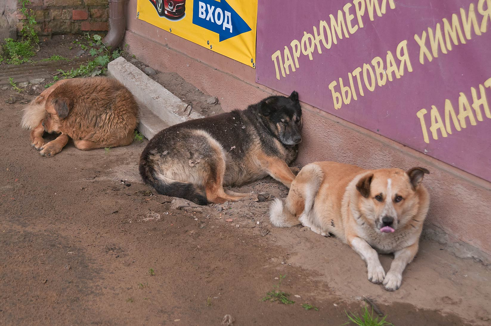 Pack on stray dogs near Toksovo Train Station, 8 miles north from St.Petersburg. Russia