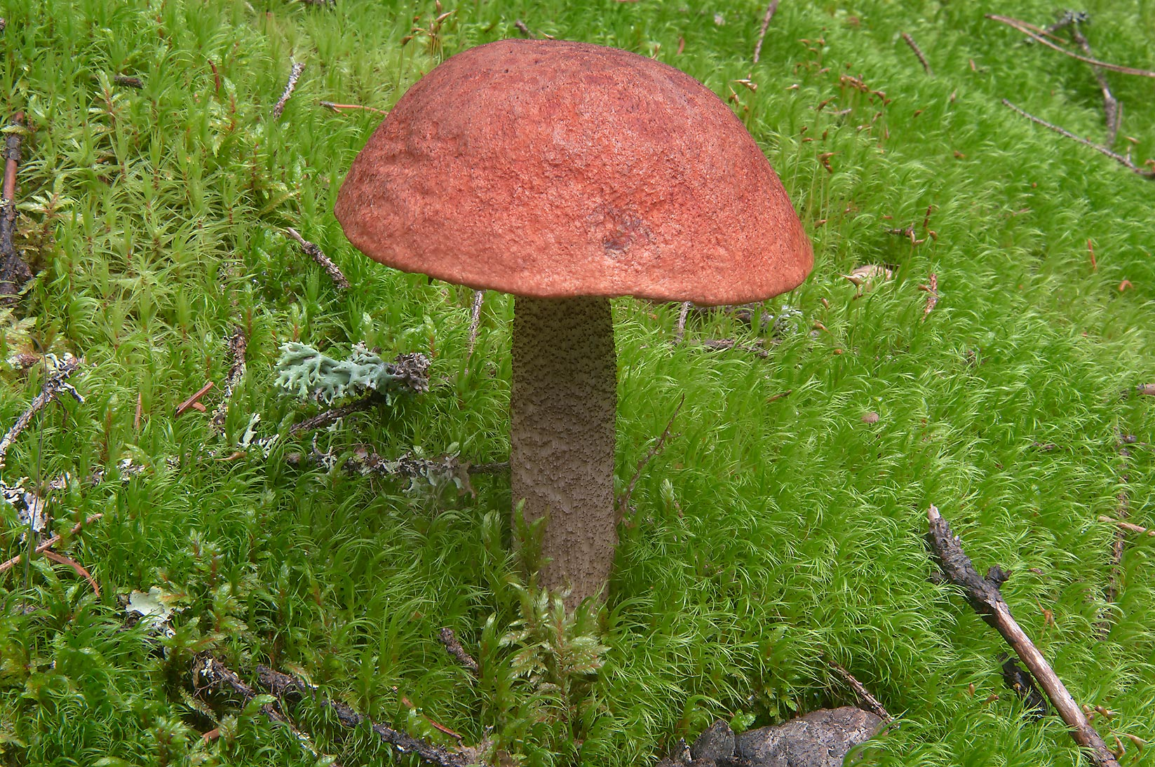 Mature orange cap Bolete mushroom in moss near a...miles north from St.Petersburg. Russia