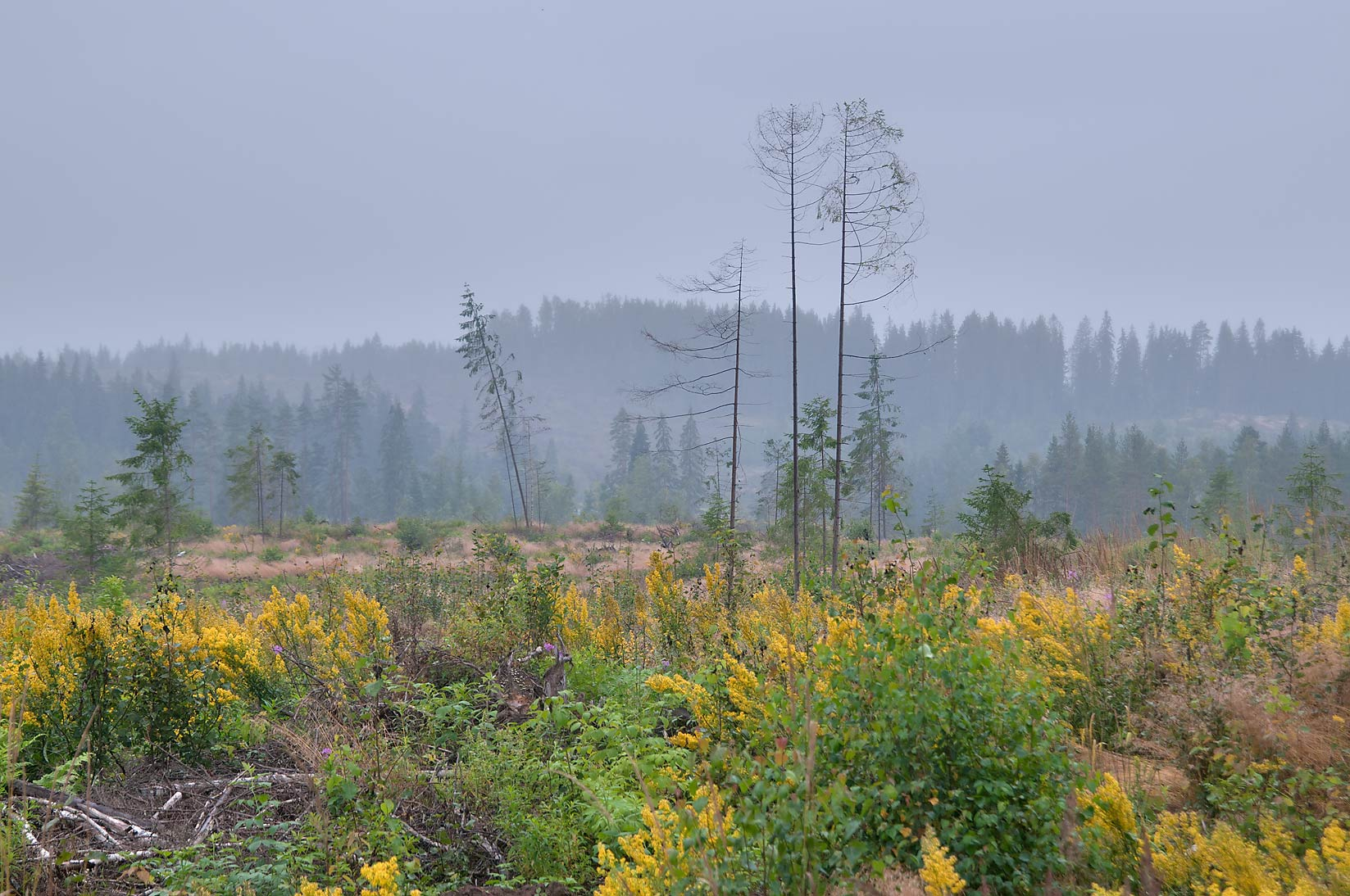 Forest cut after a hurricane two years ago near...miles north from St.Petersburg. Russia