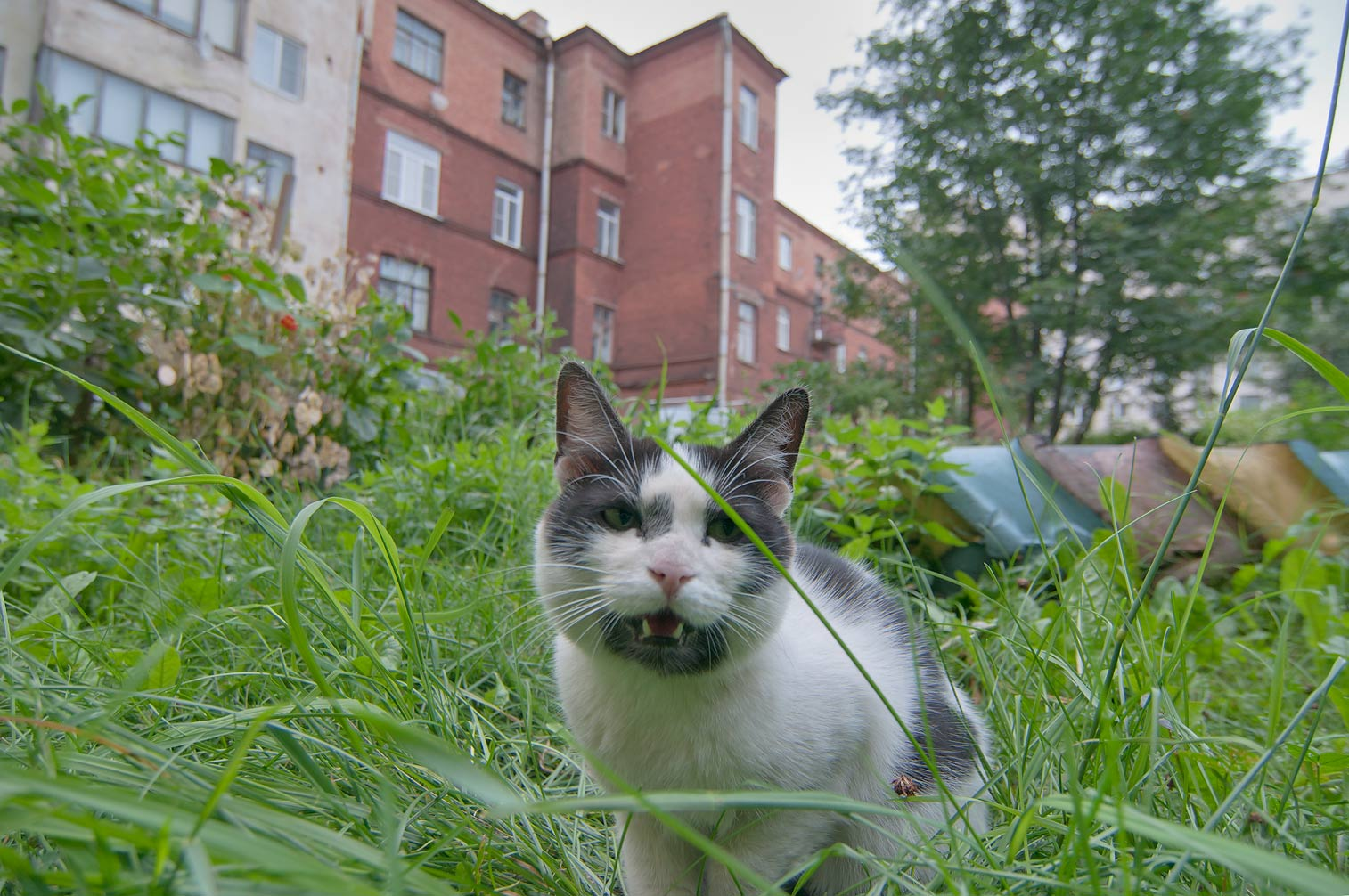 Feral cat showing defensive behavior on Suvorovsky Prospect. Vyborg, Russia