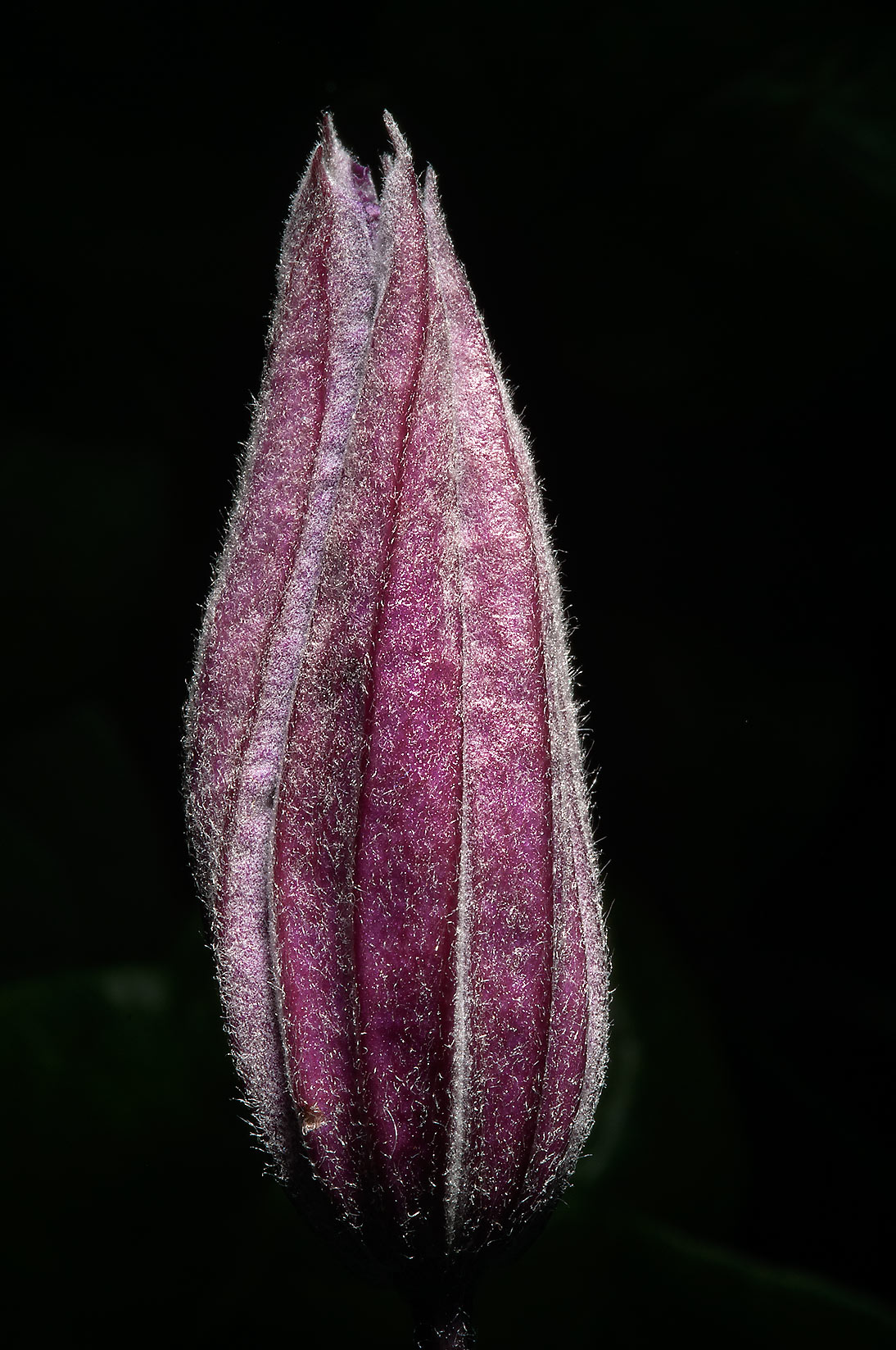 Bud of clematis in Botanic Gardens of Komarov Botanical Institute. St.Petersburg, Russia